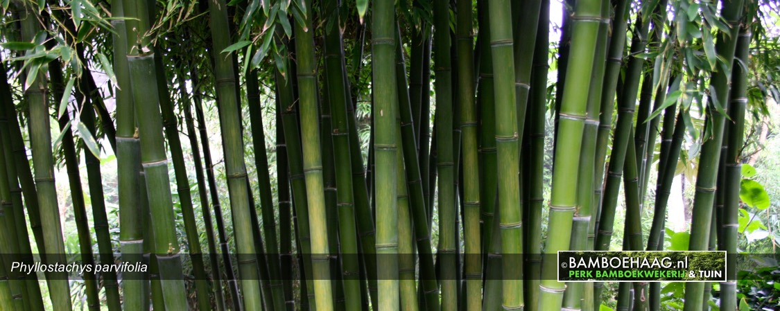 Phyllostachys parvifolia 2