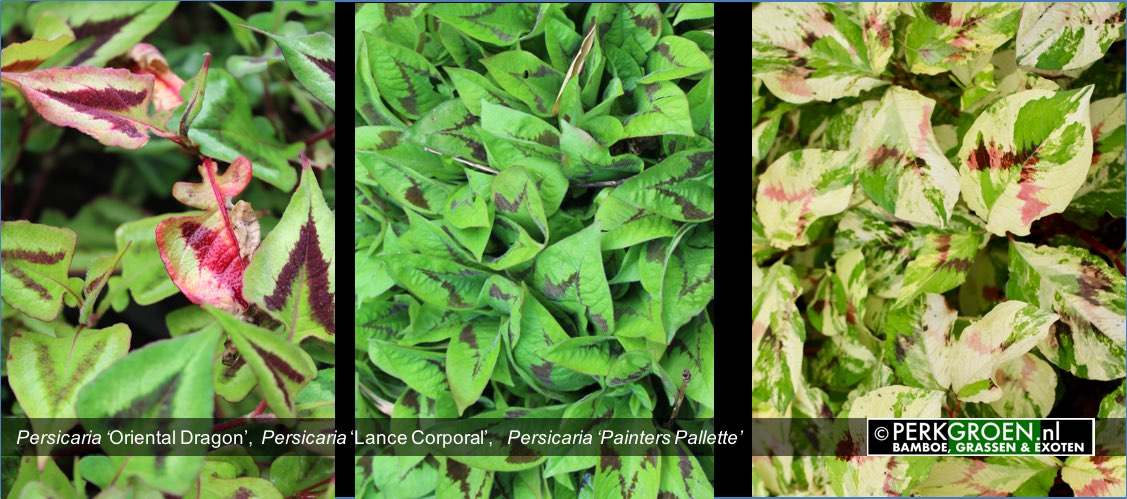 Persicaria Oriental Dragon  Persicaria Lance Corporal   Persicaria Painters Pallette