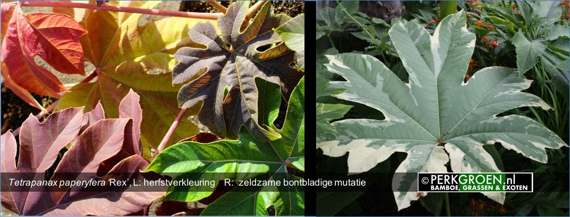 Tetrapanax paperyfera Rex L- herfstverkleuring    R-  zeldzame bontbladige mutatie