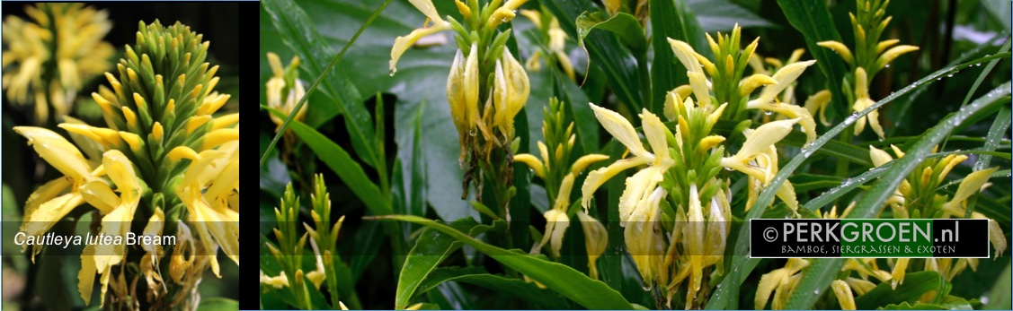 Cautleya lutea Bream