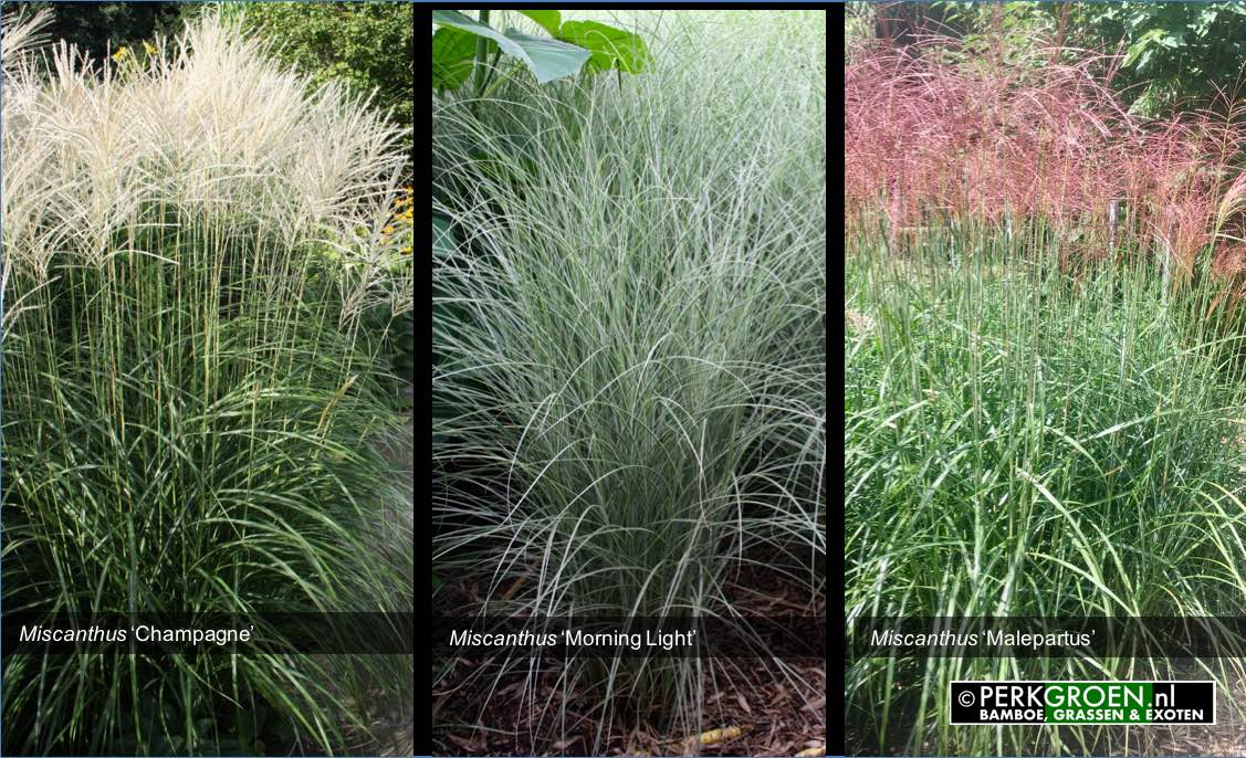 Miscanthus Champagne Miscanthus Morning Light Miscanthus Malepartus