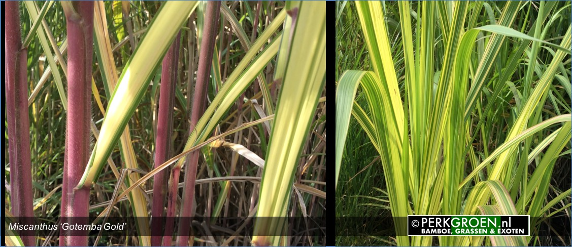 Miscanthus Gotemba Gold