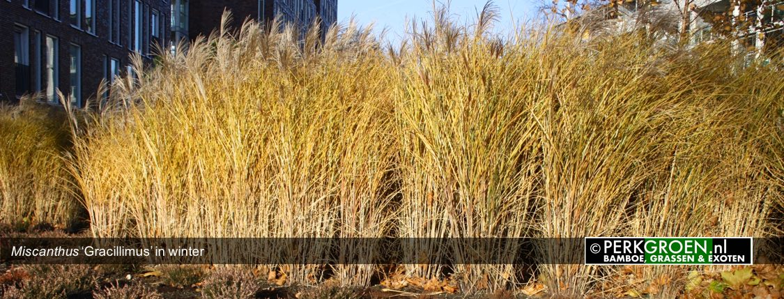 Miscanthus Gracillimus in winte