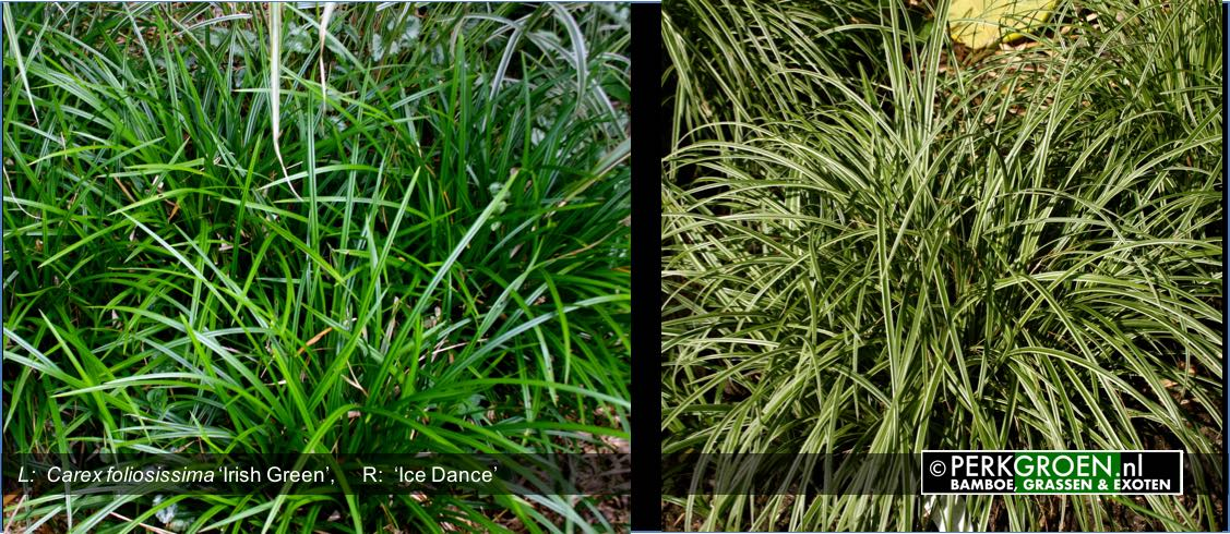 Carex foliosissima Irish Green  Carex  Ice Dance