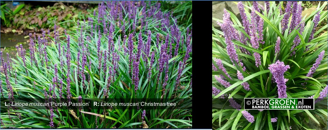 Liriope muscari Purple Passion   R- Liriope muscari Christmas tree