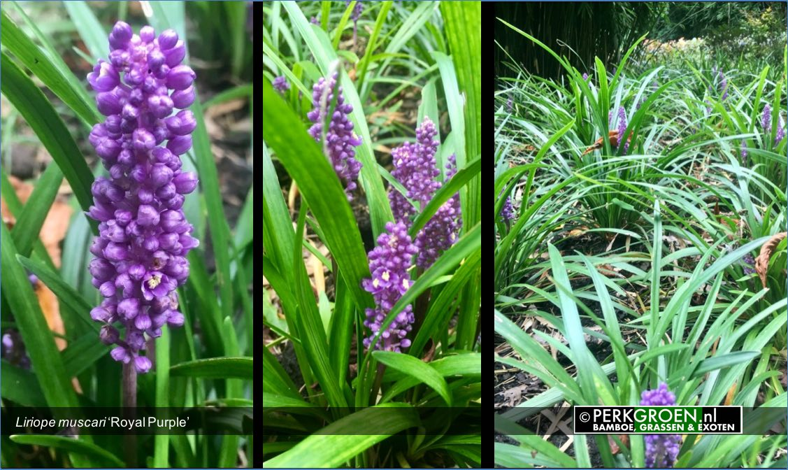Liriope muscari Royal Purple is een wintergroene lage plant met paarse bloemaren