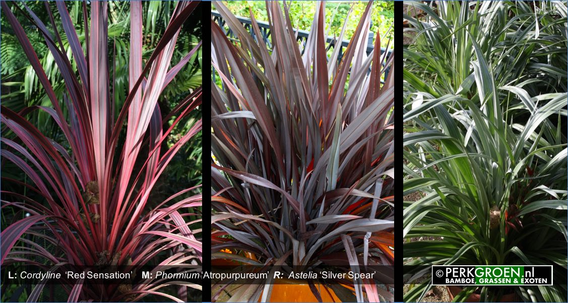 Cordyline  Red Sensation    M- Phormium Atropurpureum  R-  Astelia Silver Spear