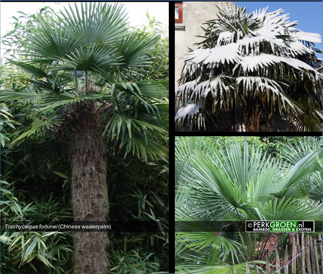 Trachycarpus fortunei Chinese waaierpalm